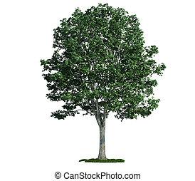 고립된, 나무, 백색 위에서, 린덴, (tilia)