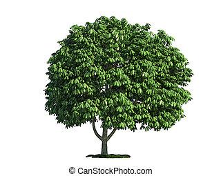 고립된, 나무, 백색 위에서, 말 밤, (salix, aesculus)