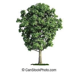 고립된, 나무, 백색 위에서, 포플러, (populus, x, canescens)
