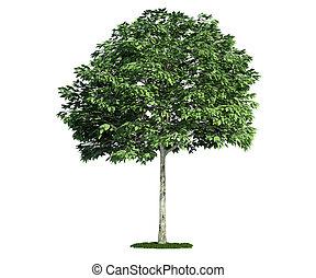 고립된, 나무, 백색 위에서, whitebeam, (sorbus)