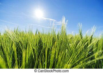 곡물, 들판