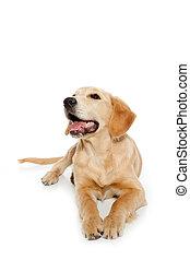골든 리트리버, 개, 강아지, 고립된, 백색 위에서
