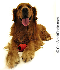 골든 리트리버, dog., 와, 빨강, toy.