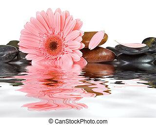 광천, 돌, 와..., 분홍색 데이지, 통하고 있는, 고립된, 백색 배경