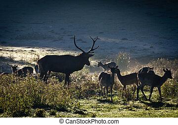군중, 의, 사슴, 서 있는, 통하고 있는, 그만큼, 목초지, 에, 해돋이