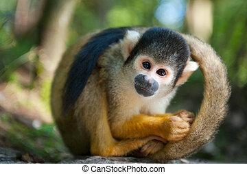 귀여운, 다람쥐 원숭이