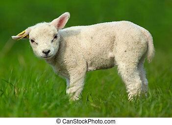 귀여운, sheep