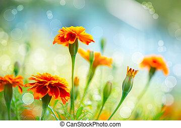 금잔화, flower., 가을, 배경, tagetes, 꽃