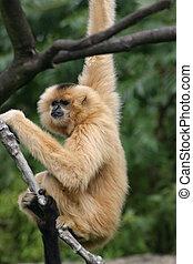 긴팔원숭이