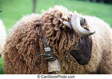 꼬부라진, 모피, sheep, 와, 목, 종, 에서, 녹색, 스위스어, 농장
