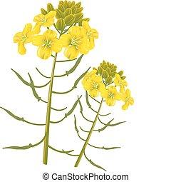 꽃, 겨자, 배경., 벡터, 백색, illustration.