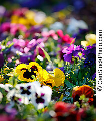 꽃, 다색이다, 제비꽃