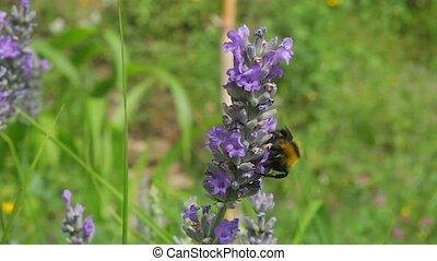 꿀벌, 통하고 있는, 라벤더