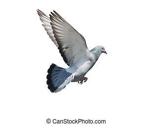 나는 듯이 빠른, 공중, 의, 비둘기, 새, 고립된, 백색 배경