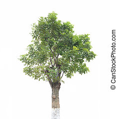 나무, 고립된, 백색 위에서, 배경
