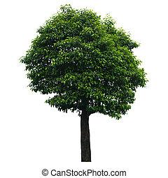 나무, 고립된, 백색 위에서