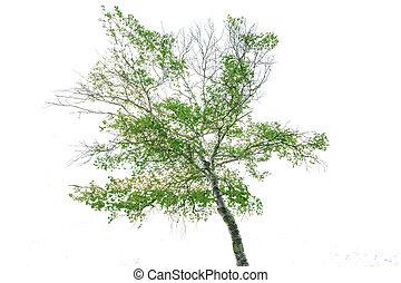 나무, 고립된, 통하고 있는, a, 백색 배경, 와, 가위로 자름, path.