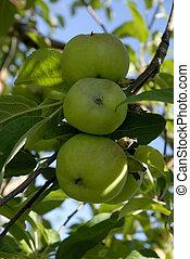 나무, 사과