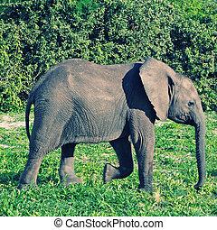 나이 적은 편의, 코끼리, 보츠와나, 아프리카
