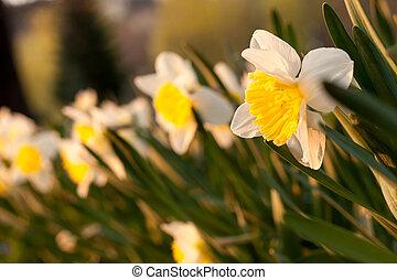 나팔수선화, 꽃 같은, 에서, 봄