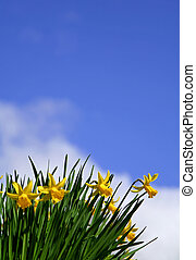 나팔수선화, 에서, 봄