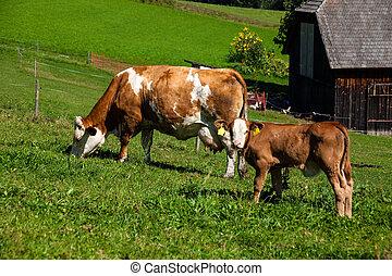 낙농장, 암소, 통하고 있는, 여름, 목장