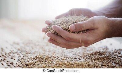 남성, 농부, 손, 보유, 맥아, 또는, 곡물 곡물