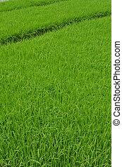 녹색의 쌀, fields., 이것, 그만큼, 씨, 의, 쌀, 식물, 앞서서, 존재, 움직임, 에, 그만큼, 그만큼, 실상의, 설치, zone., 이것, 그림, 잡힌다, 에서, 서쪽, 자바, indonesia.