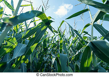 녹색, 옥수수, field.