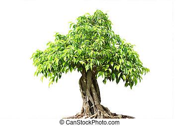 녹색, bonsai나무, 고립된, 백색 위에서, 배경