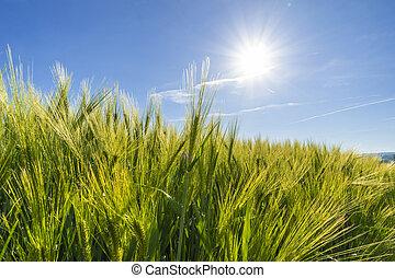 농업, 밀 들판