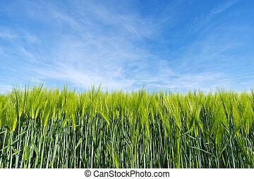 농업, 밀, 식물, 배경