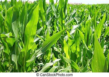 농업, 옥수수, 식물, 들판, 녹색 재배지