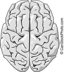 뇌, 인간