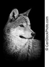 늑대, 통하고 있는, 어두운 배경