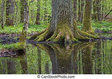 늙은, 거인, 오크 나무, 반영하는, 에서, 물
