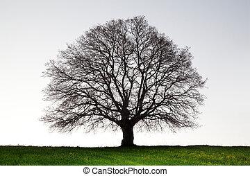 늙은, 거인, 오크 나무