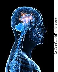 능동의, 뇌