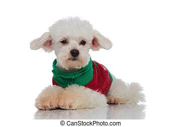 다채로운, 부드러운 털의, 스웨터, bichon, 모양, 쪽, 있는 것