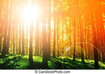 다채로운, 신비적이다, 숲, 와, 일요일 광선, 에, 아침