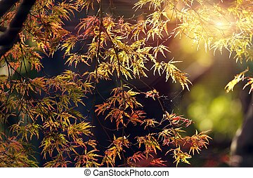 단풍나무, 가을