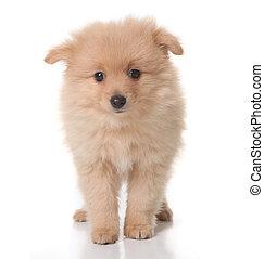 단 것, 황갈색, 착색되는, pomeranian, 강아지, 백색 위에서