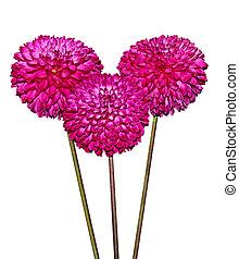 달리아, 심홍색, 꽃, 3
