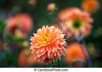 달리아, 오렌지, 와..., 노란 꽃, 에서, 정원, 만발, 클로우즈업