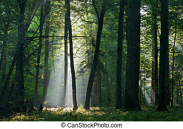 덧없는, 태양 광선, 들어감, 기름진, 숲