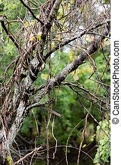 덩굴, 통하고 있는, 야생의, 나무, 가을