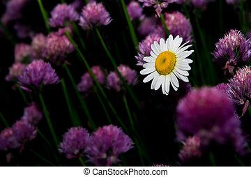 데이지, 꽃