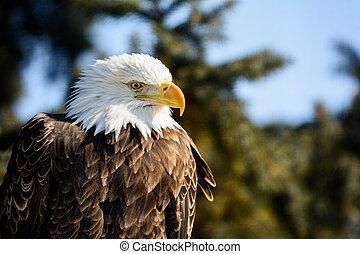 독수리, 미국 영어, 드러내다