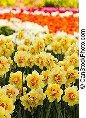 두 배, 황색, 나팔수선화, 꽃 같은, 에서, 봄