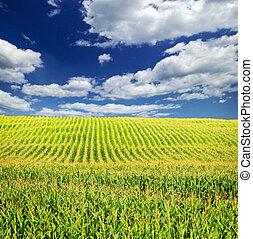 들판, 옥수수